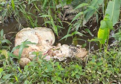 «Cachilaperos» robaron becerra de un potrero cerca al barrio El Amparo en Granada-Meta
